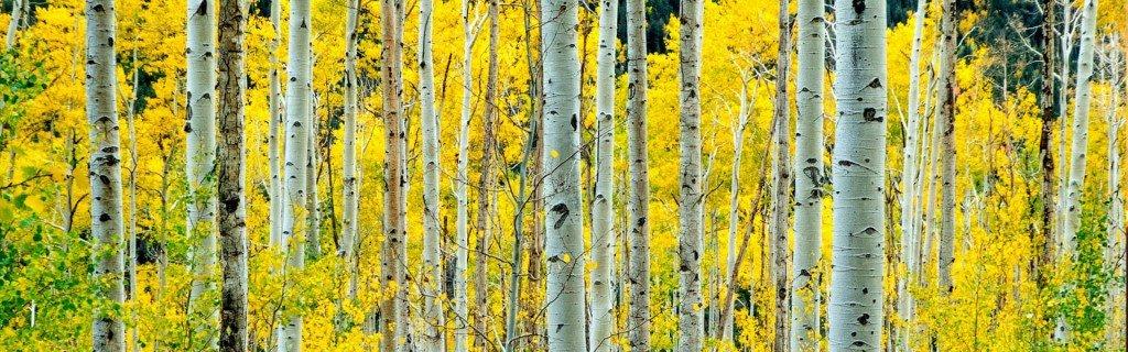 Photo of aspen forest by Donald Giannatti on Unsplash
